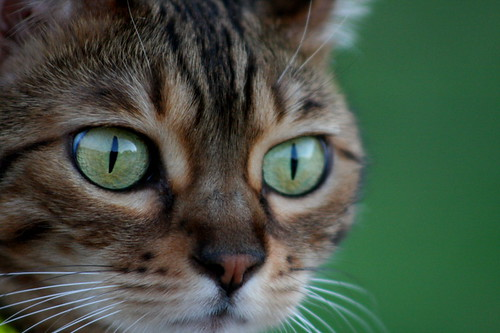 Bengal cats eyes