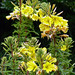 Hooker's evening primrose - Photo (c) James Gaither, some rights reserved (CC BY-NC-ND)