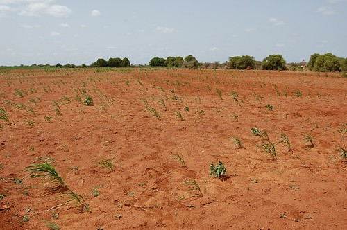 Failure of sorghum crop in Bakool region, Somalia