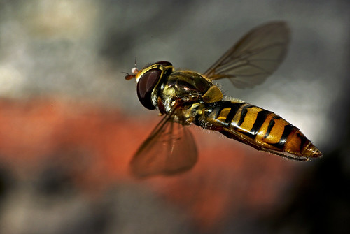 Hoverfly in flight...