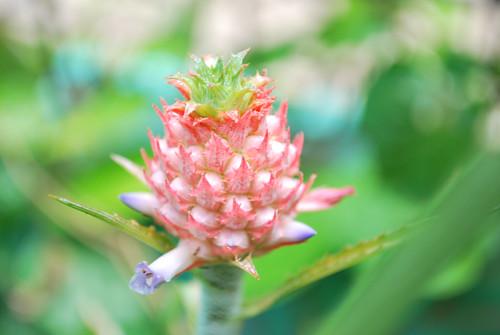 Bunga Nanas