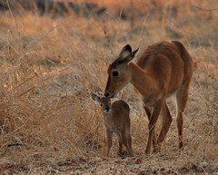 Day-Old Puku, South Luangwa National Park, Zambia