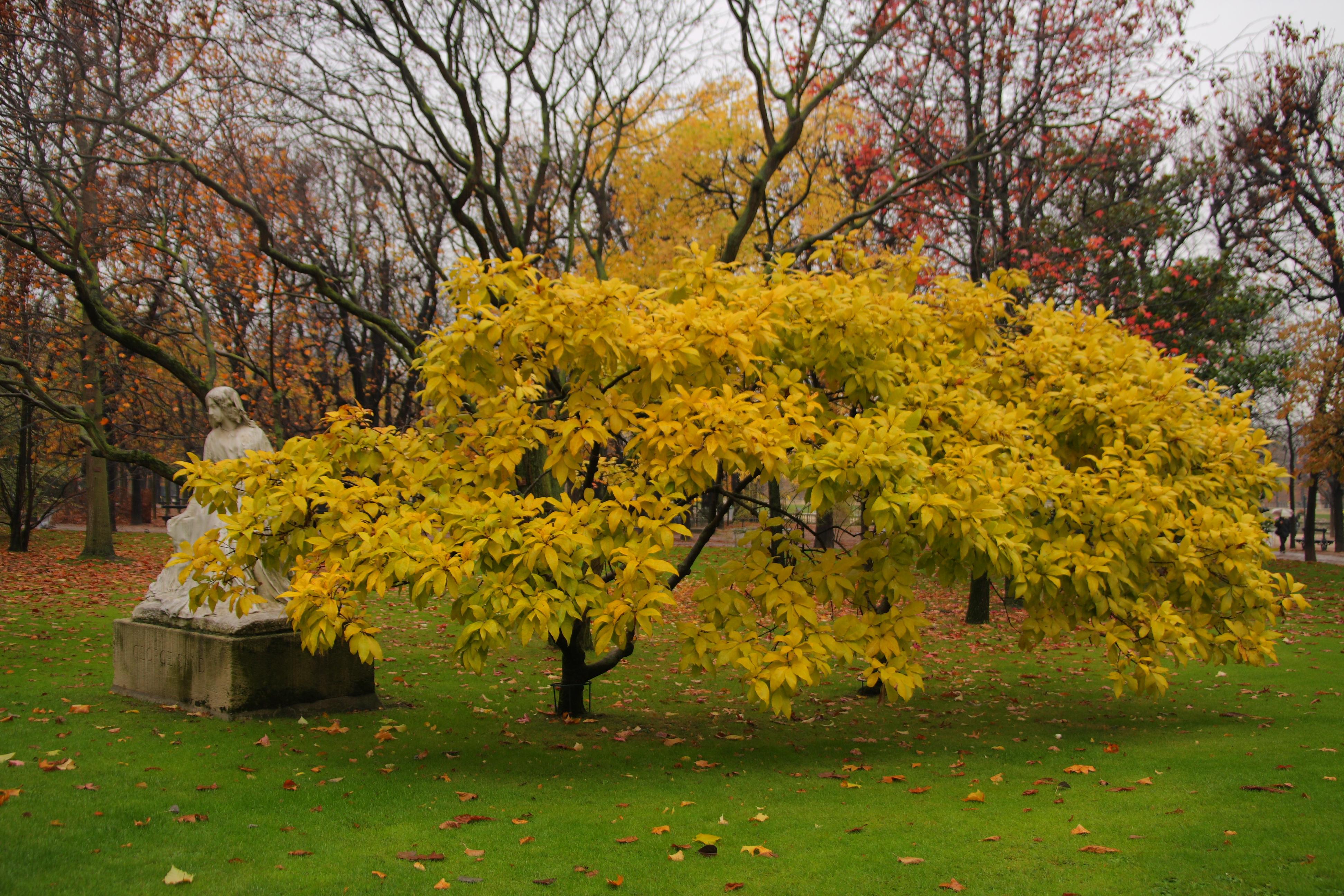 L 39 arbre de george sand au jardin du luxembourg le jour for Arbres jardin du luxembourg