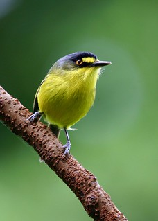 Teque-Teque, Yellow-lored Tody-flycatcher (Todirostrum poliocephalum)