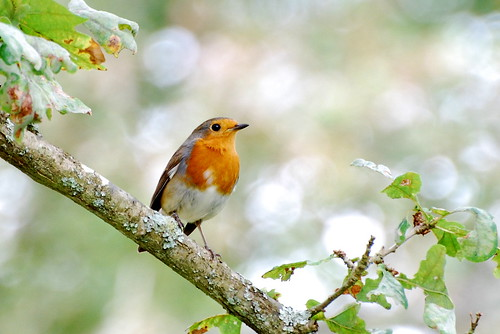 Robin with Bokeh