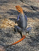 "<a href=""http://www.flickr.com/photos/jroldenettel/5706262771/"">Photo of Agama planiceps by Jerry Oldenettel</a>"