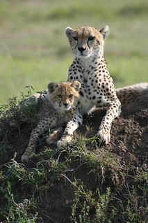 Cheetas - mother & cub