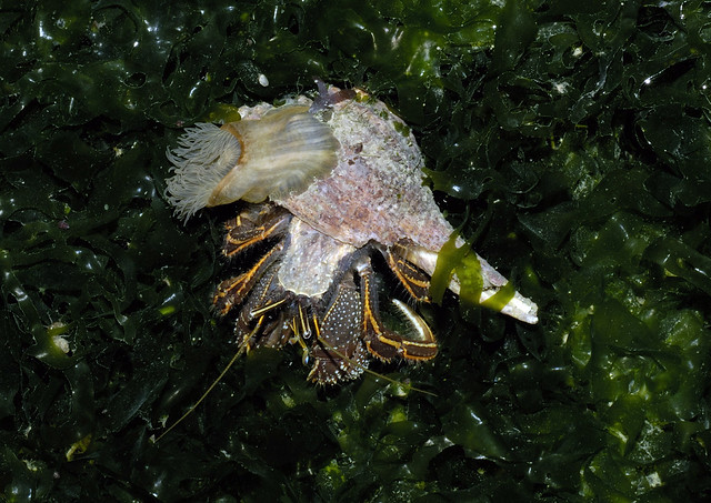 Orange-striped hermit crabs (Clibanarius infraspinatus) with sea anemone