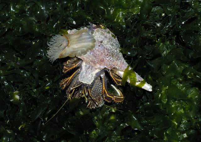 Orange-striped hermit crabs (Clibanarius infraspinatus) with sea anemone