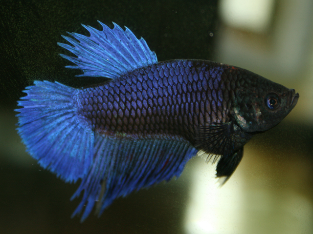Pregnant betta sexiest bbw for Types of betta fish petco