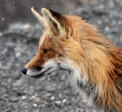 Red Fox close up - a photo on Flickriver
