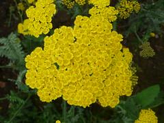 yarrow, annual plant, flower, yellow, plant, herb, flora,