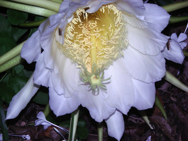 Night Blooming Cereus - For the Serious