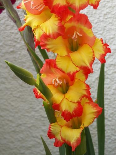 Gladiolen Gladiolus Blumen an Silberzweigen das Frühjahr wird wahr 017