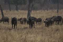 cattle-like mammal, animal, prairie, plain, mammal, herd, grazing, fauna, savanna, grassland, safari, wildlife,