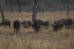 wildebeest(0.0), elk(0.0), cattle-like mammal(1.0), animal(1.0), prairie(1.0), plain(1.0), mammal(1.0), herd(1.0), grazing(1.0), fauna(1.0), savanna(1.0), grassland(1.0), safari(1.0), wildlife(1.0),