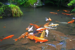 carp(0.0), fish(1.0), fish pond(1.0), koi(1.0), goldfish(1.0), pond(1.0),
