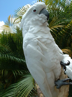Umbrella Cockatoo - photo by JunCTionS on Flckr CC