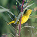 Yellow Warbler - Photo (c) Jamie Chavez, some rights reserved (CC BY-NC)
