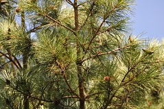 date palm(0.0), arecales(0.0), spruce(0.0), twig(0.0), larch(1.0), evergreen(1.0), borassus flabellifer(1.0), flower(1.0), branch(1.0), pine(1.0), tree(1.0), flora(1.0),