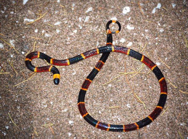 Eastern Coral Snake | Flickr - Photo Sharing!