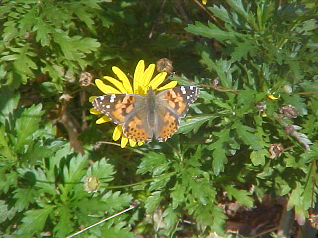 Butterfly on African Bush Daisy Close