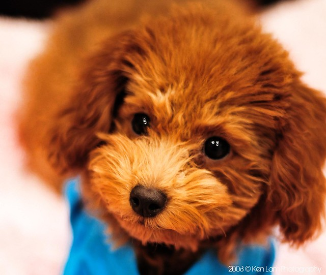 Crazy About Toy Poodles
