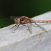 Male Common Darter, Sympetrum striolatum, a species of Dragonfly, Basking