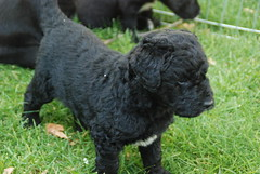 standard poodle(0.0), pumi(0.0), poodle crossbreed(0.0), bouvier des flandres(0.0), american water spaniel(0.0), toy poodle(1.0), miniature poodle(1.0), dog breed(1.0), animal(1.0), dog(1.0), schnoodle(1.0), curly coated retriever(1.0), lagotto romagnolo(1.0), irish water spaniel(1.0), cockapoo(1.0), portuguese water dog(1.0), spanish water dog(1.0), barbet(1.0), carnivoran(1.0),