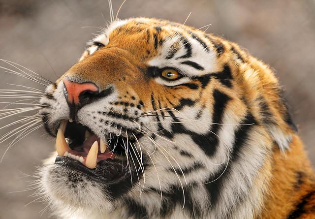 Angry Amur tigress