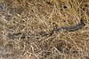 """<a href=""""http://www.flickr.com/photos/lance_mountain/2386003301/"""">Photo of Thamnophis hammondii by Erin and Lance Willett</a>"""