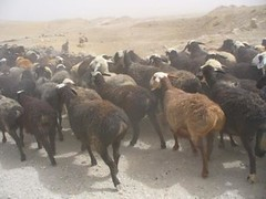 animal, sheeps, sheep, mammal, herd, fauna, herding,
