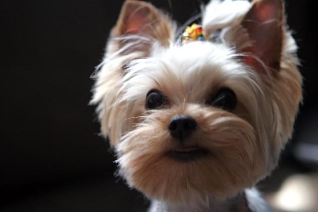 Yorkie Haircuts Puppy Cut