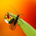 Flower dewdrop refraction #3 with braconid wasp by Lord V
