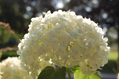 hydrangea, flower, branch, guelder rose, macro photography, flora,