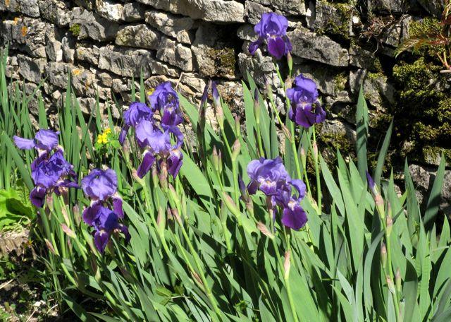 Irises, St Seine de la Abbaye