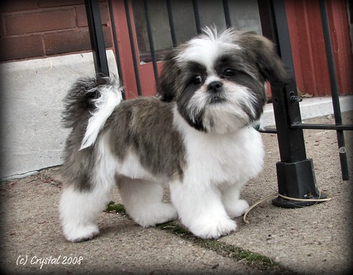 shih tzu haircut styles shih tzu grooming style photos hairstyle gallery 1599