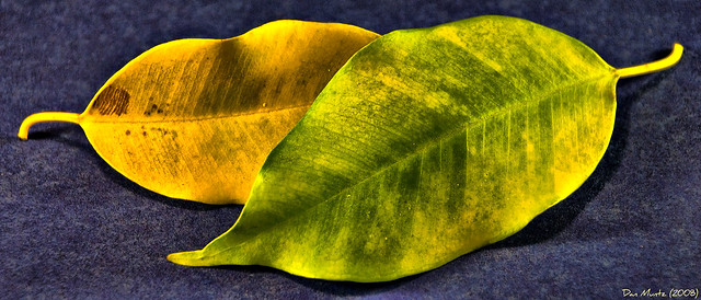 Ficus Leaves Flickr Photo Sharing