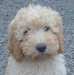 Labradoodle Puppies on Labradoodle Puppy   Flickr   Photo Sharing