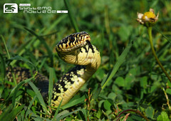 The world 39 s best photos of biacco and reptile flickr for Serpente frustone