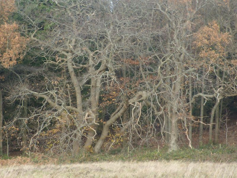 Witchy trees Guildford Circular via Chantries Hill