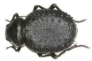 Pimelia confusa Senac, 1884