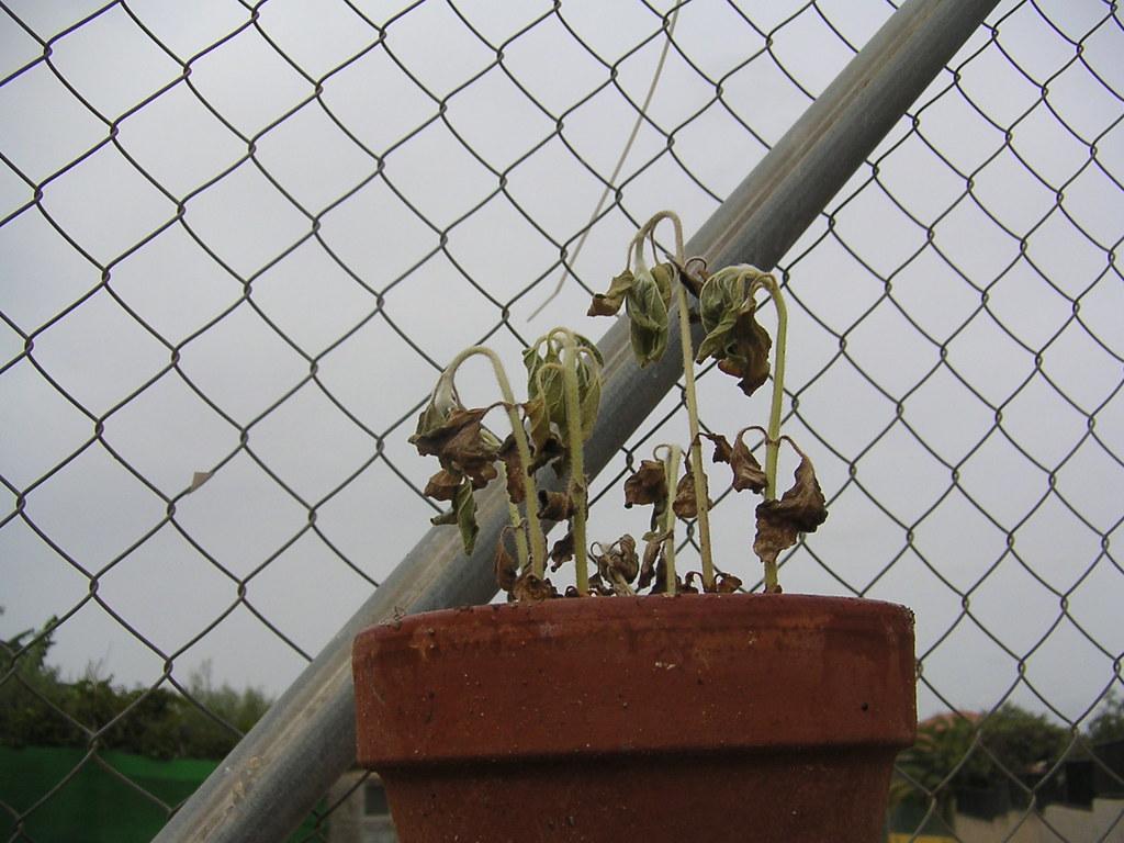 girasoles sin flor