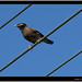 Small photo of The common myna (Acridotheres tristis)