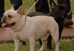 british bulldogs(0.0), dog breed(1.0), animal(1.0), dog(1.0), old english bulldog(1.0), pet(1.0), olde english bulldogge(1.0), white english bulldog(1.0), australian bulldog(1.0), toy bulldog(1.0), french bulldog(1.0), american bulldog(1.0), carnivoran(1.0), bulldog(1.0),