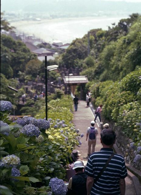 成就院@鎌倉の紫陽花 - Jyojuin Temple