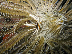 coral(0.0), fish(0.0), echinoderm(0.0), thorns, spines, and prickles(0.0), lionfish(0.0), reef(0.0), pomacentridae(0.0), coral reef(1.0), animal(1.0), marine biology(1.0), invertebrate(1.0), macro photography(1.0), stony coral(1.0), marine invertebrates(1.0), fauna(1.0), underwater(1.0), sea anemone(1.0),