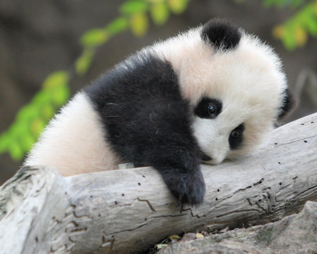 Fluidr Panda Cub Zhen Zhen By Kjdrill