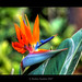 Bird of Paradise - HDR