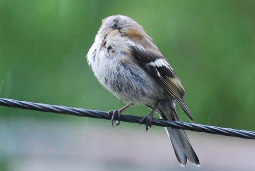 Headless Chaffinch?